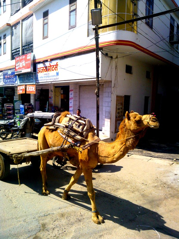 Camel cart, Bikaner