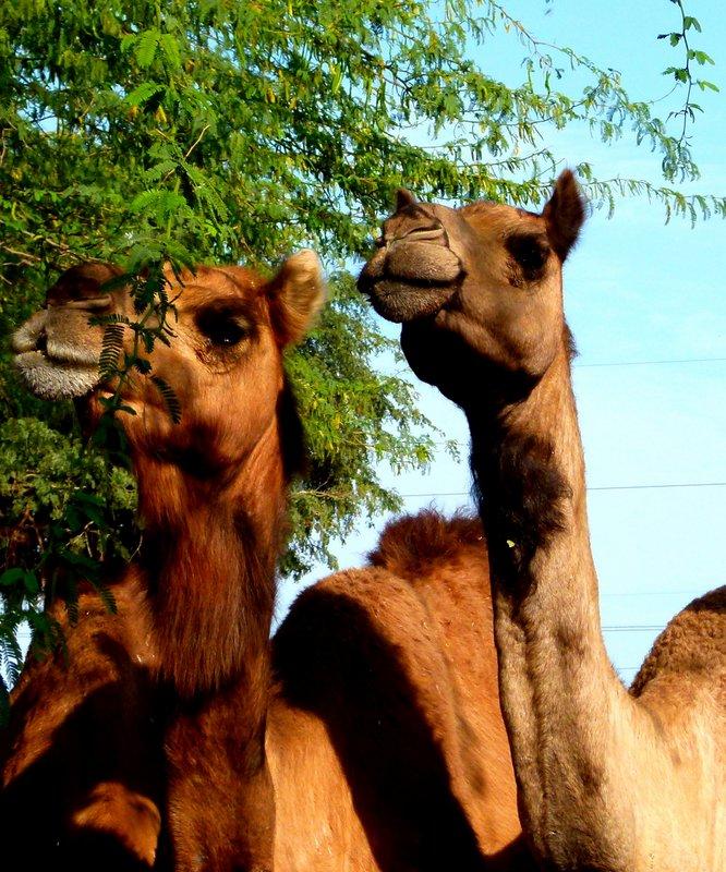 Camels 10