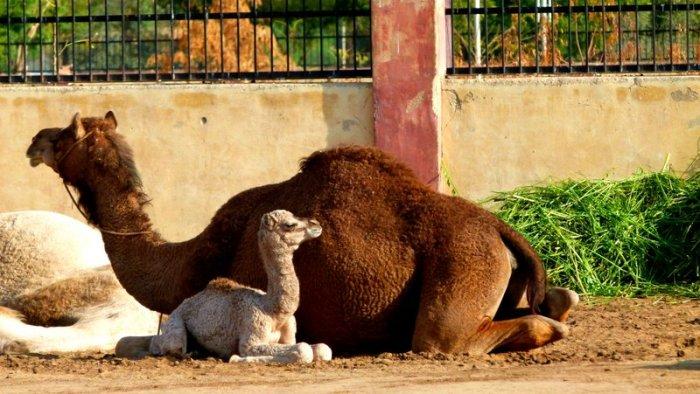 Camels 12