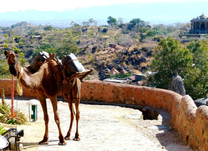 Camel carrying water cans at the Kumbhalgarh Fort