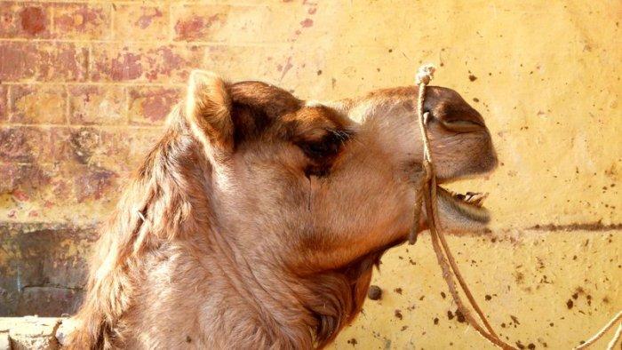 Camels 4