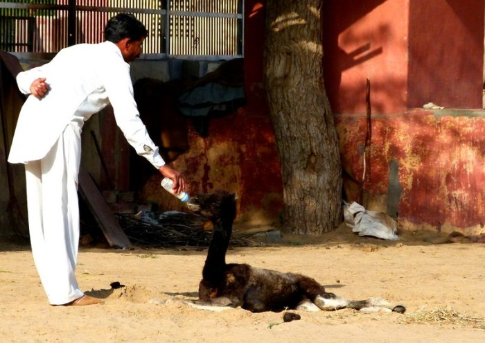 Camel, Rajasthan