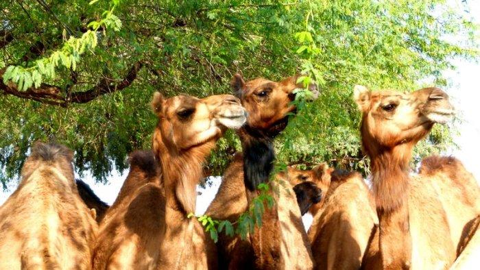 Camels 9