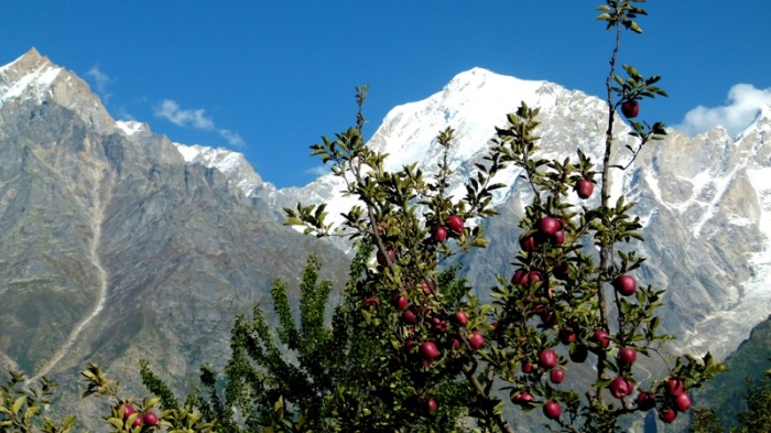 Himachal Pradesh, Kalpa, Apple Trees