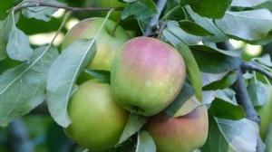 Himachal Pradesh, Kalpa, Apples