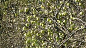 Sarahan, Apples, Himachal Pradesh