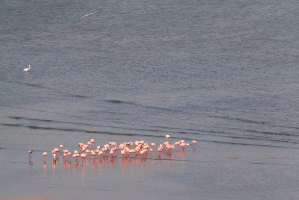 Flamingoes in Sewri, Sewri Mudflats, Lesser Flamingoes, Pink flamingoes, Mumbai