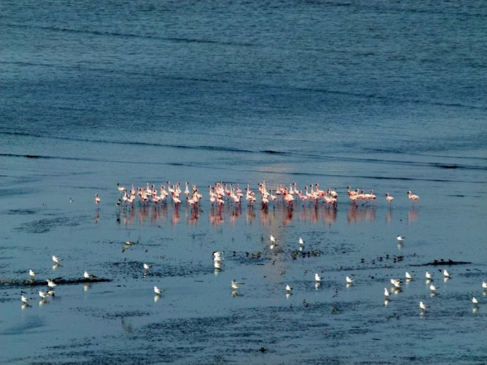 Flamingoes in Sewri, Sewri Mudflats, Lesser Flamingoes, Pink flamingoes, Mumbai