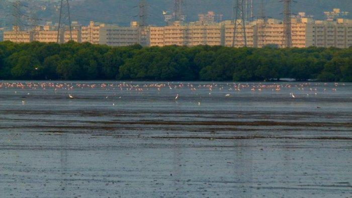 Flamingos in Sewri, Sewri Mudflats, Lesser Flamingos, Pink flamingos, Mumbai