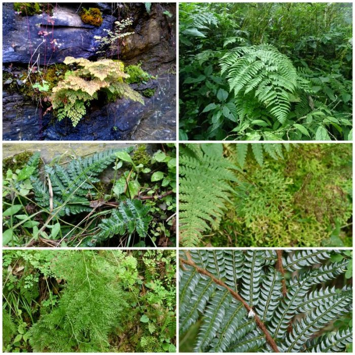 Himalayan ferns, Pteridophytes, Plants