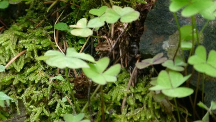 Clover leaf, Himalayan plant, Himachal Pradesh, plants, travel