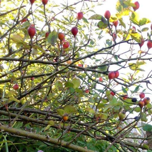 Wild Rose, Himachal Pradesh, Fagu, Travel, Himalayan Plants
