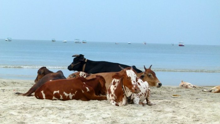 Goa, Colva Beach, Unusual beach companions, Working vacation