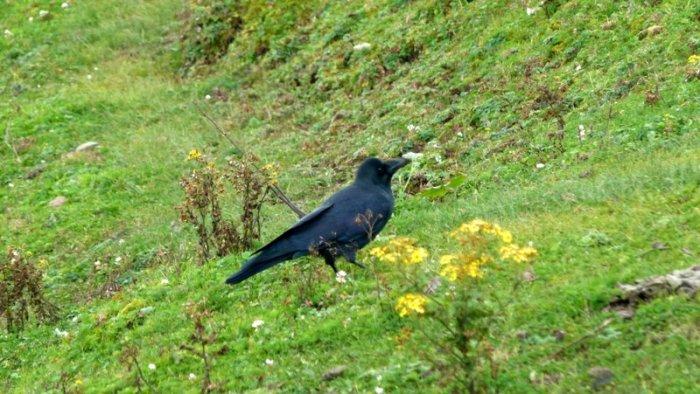 Crow, Bird. dung