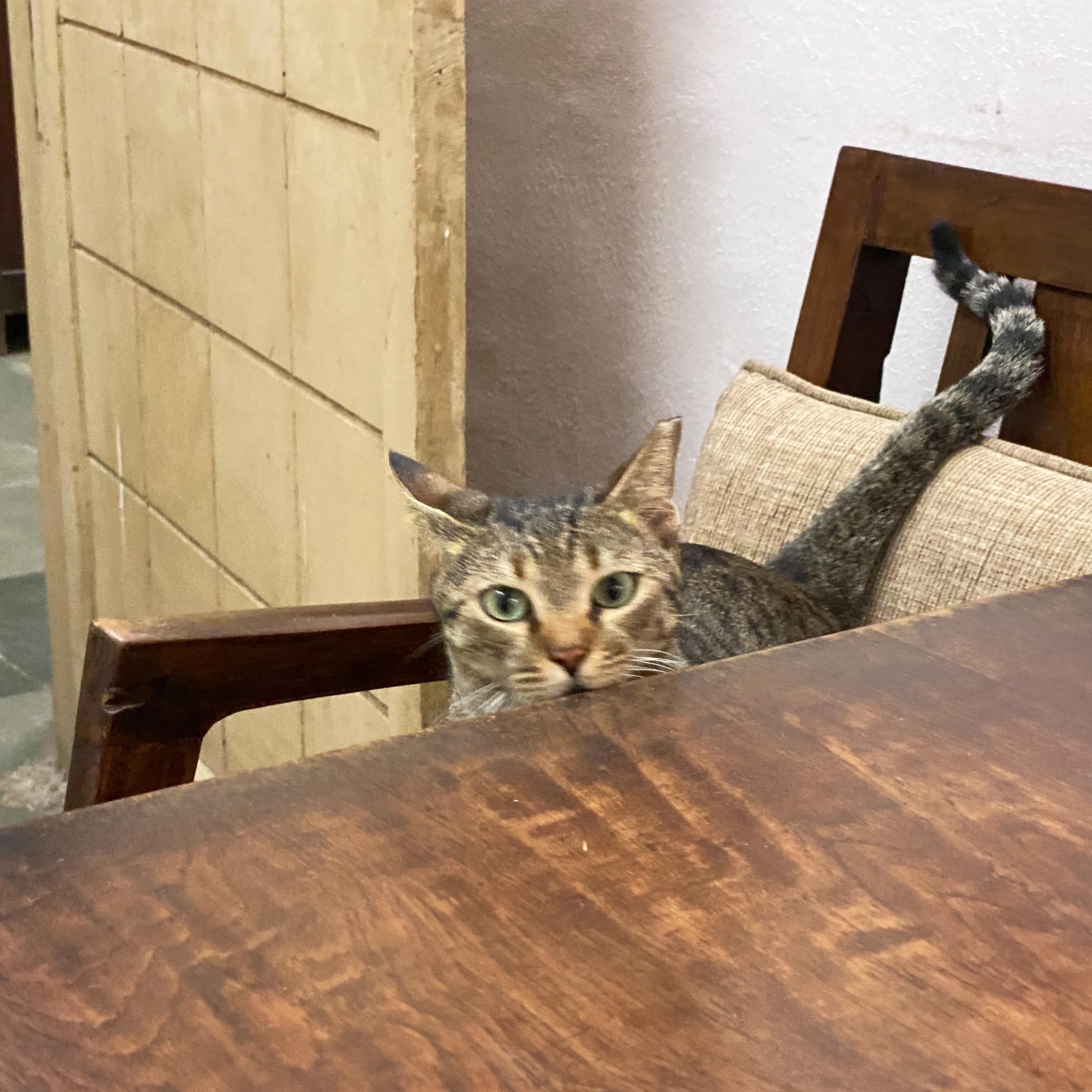 Gudda Billa, Office Cat, Therapy Cat